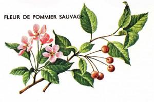 sauvage-fleurspommier